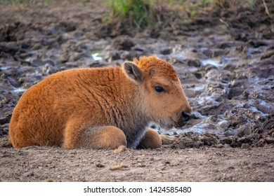 Baby American Bison Buffalo during the day