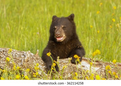 Baby American black bear (Ursus americanus) playing with a log