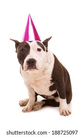 Baby American Staffordshire Terrier wearing a festive hat