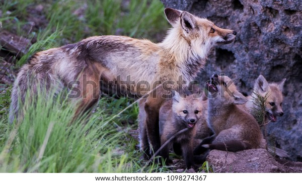 Baby Animals Yellowstone National Park Spring Royalty Free