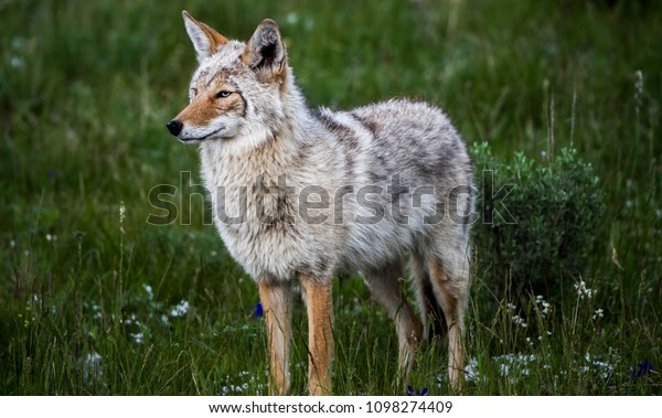 Baby Animals Yellowstone National Park Spring Stock Photo