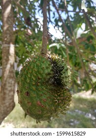 Baby Annona muricata, Soursop fruit (Sugar Apple, Prickly Custard Apple) in the tree. A picture of soursop fruit before been cut and eat. Healthy food for medicine