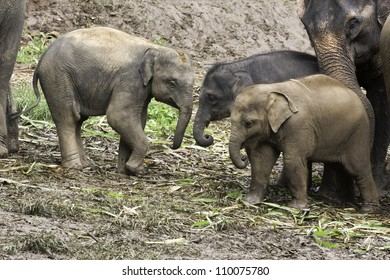 A baby Asian Elephant (Elephas maximus) receives a gentle nudge from her mother to go play with the other babies.