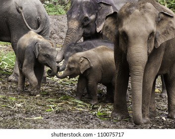 Baby Asian Elephants (Elephas maximus) put their trunks together in what appears to be an elephant version of a pinkie swear.