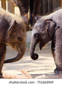 Baby Asian Elephants play together at the zoo.
