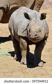 Baby Asian rhinoceros