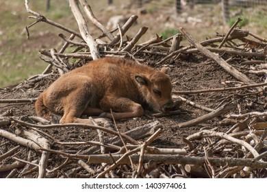 A baby aurochs lying in the sun