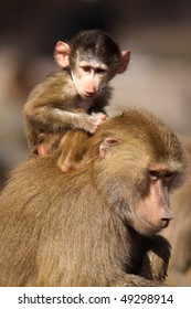 Baby baboon monkey sitting on its mother