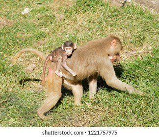 Baby Baboon on mothers back while she is foraging for food