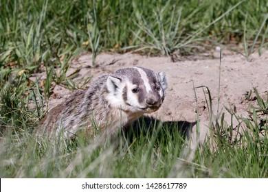 Baby Badger posing at den