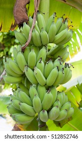 Baby bananas, Thinadhoo island, Maldives