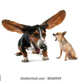a baby basset hound yawning with big ears and a chihuahua