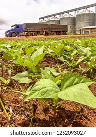 Baby bean plantation on field, with a unfocused truck and silos in the background, Brazil