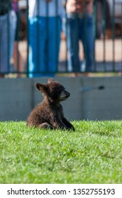 A baby bear sitting in the green grass with a cute expression while people watch in the background.
