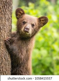 Baby bear stares at camera