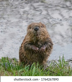 Baby Beaver Kit - A curious baby beaver emerges from the water, sits on its haunches and looks at the world around it. Coulter Bay, Grand Teton National Park, Wyoming.