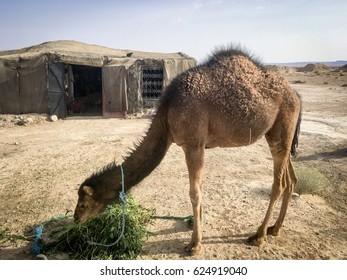Baby Bedouin Camel
