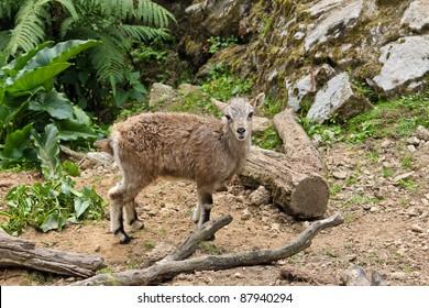 Baby Bharal (Himalayan Blue Sheep)