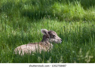A baby bighorn sheep laying in the sunshine in the tall spring grass.