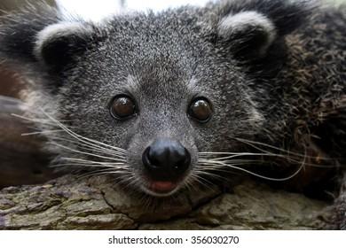 Baby of Binturong or Bearcat