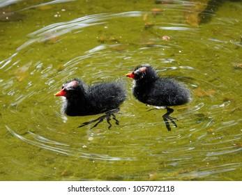 Baby Bird in the City. Common moorhen (Gallinula chloropus) or Eurasian moorhen  fledgling swimming in the pond in Peace memorial park, Taipei, Taiwan.