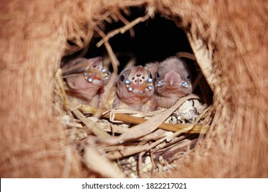 Baby bird Finches waits for food from the mother finches. That food is millet seed, a favorite food of the finches. Bird's nest made from dried coconut