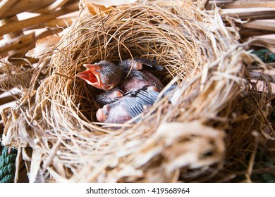 baby bird in nest wait for food from mother