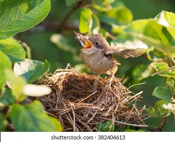 Baby bird sittiing on edge of the nest and trying to fly