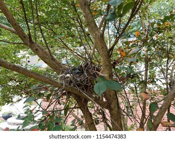 baby birds in nest in crape myrtle tree