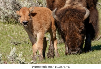 Baby Bison and Mom