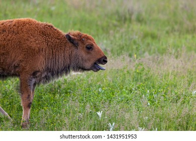 A baby bison panting with its tongue hanging out as it stops to catch its breath after running around playing.