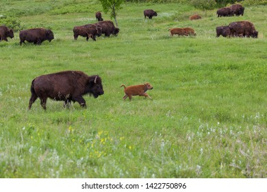 A baby bison runs in front of its mother agross the spring grass of the prairie wtih other herd members in the distance.