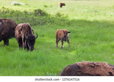A baby bison walking in a green field with its family in Wind Cave National Park, South Dakota.