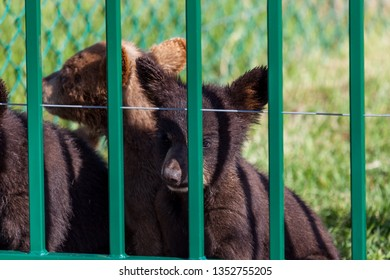 A baby black bear and his friends sitting behind green bars looking curiously ahead in the spring sunshine.