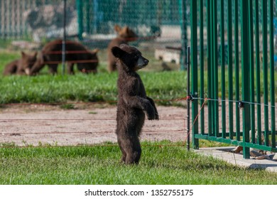 A baby black bear standing on its hind legs looking beyond the fence bars of its enclosure with other baby bears in the background.