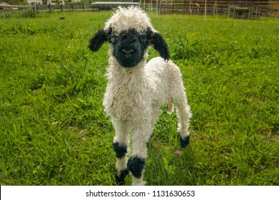 Baby black nose sheep standing on green grass and watching in the camera