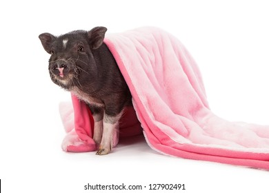 Baby black pig wrapped in a pink plush blanket