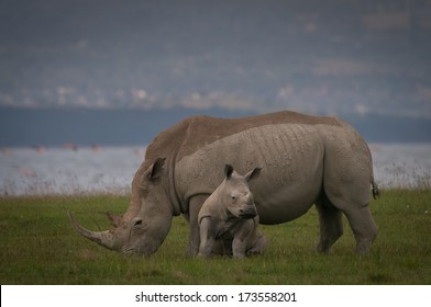 Baby black rhino with mother