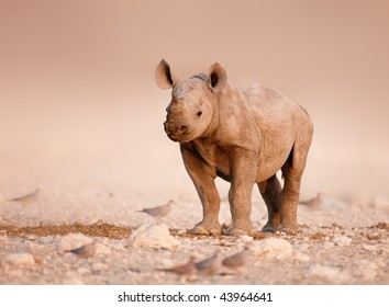 Baby Black Rhinoceros standing on salty plains of Etosha