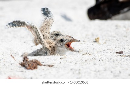 Baby black skimmer chicks in the nest flapping their wings