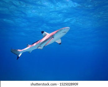 Baby Black Tip Reef Shark in the shallows
