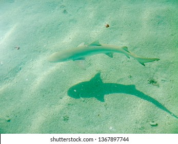 Baby blacktip shark is swimming near the water surface on a maldives island