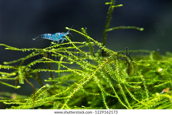 Baby Blue Cherry Shrimp Stay Relax Stock Photo (Edit Now