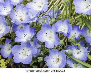 Baby blue eyes (binomial name: Nemophila menziesii), a spring wildflower native to California (shallow depth of field), growing in a garden in Illinois