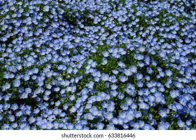 Baby Blue Eyes - Nemophila