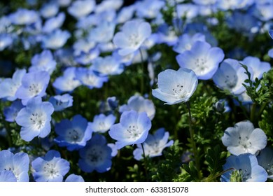 Baby Blue Eyes - Nemophila Flower