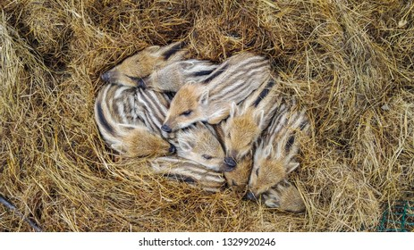 Baby boars, many little young wild boars in the straw