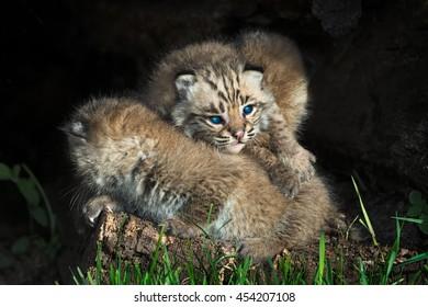 Baby Bobcat Kittens (Lynx rufus) Lie in Pile - captive animals