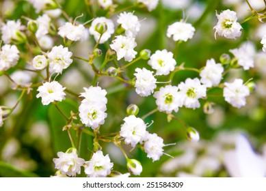 Baby breath flowers closeup