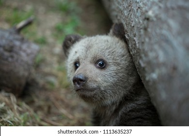 baby brown bear cub looking scared at camera emerging from under a tree up close